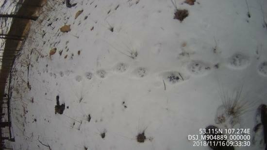 В Иркутской области ликуют экологи: популяция рысей жива, фото-1